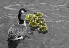 Babies are more than gold !. Wild goose mother swimming aside geese while looking for food. The mother goose is protecting geese in the same time Royalty Free Stock Photos