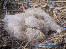 Babies pigeons. Little pigeon babies in the nest Royalty Free Stock Photography