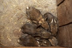 Babies rabbits in a warm nest of wool pressed against each other royalty free stock photo