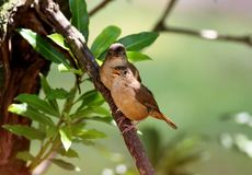 Babies Troglodytes musculus in the tree Royalty Free Stock Photo
