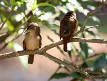 Babies Troglodytes musculus in the tree Royalty Free Stock Images