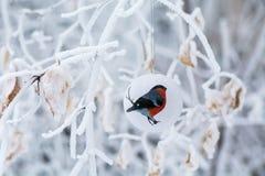 Babiole de Noël de bouvreuil d'oiseau sur une branche Photo stock