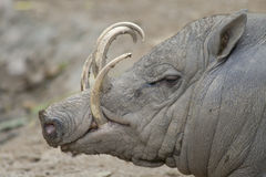 Babirus. A warthog? No, a Babirusa Royalty Free Stock Images