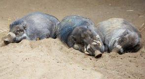 Babirusa βόρειου Sulawesi ύπνου στοκ εικόνα