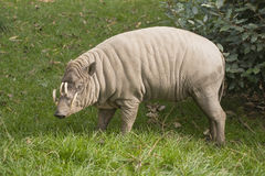 Babirusa Royalty Free Stock Image