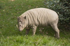Babirusa Stock Photo