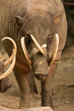 Babirusa Royalty Free Stock Images