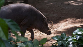 Babirusa Royalty Free Stock Photography