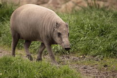 Babirusa Stock Photos