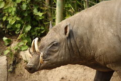Babirusa. The animal of East India similar to a pig, on high feet, with four canines in the top jaw stock photography
