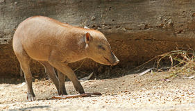 Babirusa Stockfotos