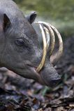 Babirusa. Head Royalty Free Stock Photos