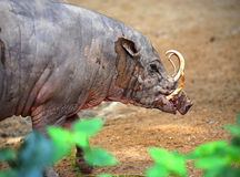 Babirusa or babyrousa Stock Photography