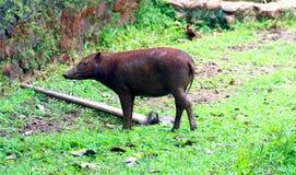 Babirusa de Buru image libre de droits