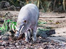 Babirusa deer-pigs Babyrousa while looking for food on a wet soil or mud. stock photo
