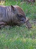 Babirusa. Indonesian Male Pig With Curved Tusks Laying In Grass Stock Image