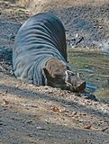 Babirusa. Indonesian Male Pig With Curved Tusks Laying In Mud Royalty Free Stock Images