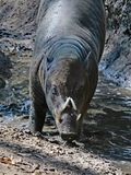 Babirusa. Indonesian Male Pig With Curved Tusks Standing In Mud Stock Images