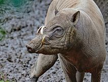Babirusa. Indonesian Male Pig Profile Showing Curved Tusks Stock Images