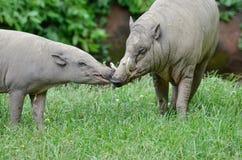 Babirusa kiss Stock Images