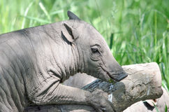 Babirusa and a log Royalty Free Stock Photography