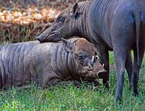 Babirusa Pair Stock Images