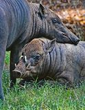 Babirusa Pair Royalty Free Stock Photography