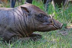 Babirusa Pair. Indonesian Male Pig With Curved Tusks Laying In Grass Stock Image