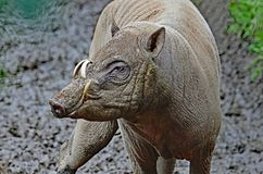 Babirusa Pair. Indonesian Male Pig With Curved Tusks In Profile Royalty Free Stock Photos