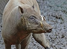 Babirusa Pair Royalty Free Stock Photo