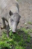 Babirusa - pig Stock Images