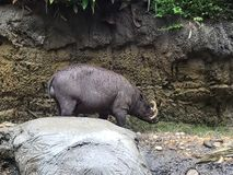 Babirusa Piggy stock foto