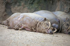 Babirusa Pigs Sleeping royalty free stock images