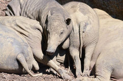 Babirusa pile Royalty Free Stock Images