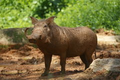Babirusa 2 Royalty Free Stock Photography