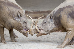Babirusa Wild Boar in Battle Stock Photos