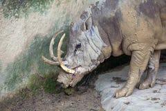 Babirusa Wild Boar Closeup royalty free stock photo