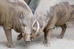 Babirusa Wild Boar Pair Snuggling stock photography