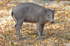 babirusa świnia Zdjęcia Royalty Free