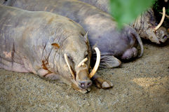 Babirussa (Babyrousa babyrussa). The babirusa has upper tusks that pierce the flesh and grow through the top of its snout. No other wild pig has this unique Royalty Free Stock Photo