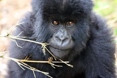 Bably Mountian Gorilla in Rwanda Royalty Free Stock Photo