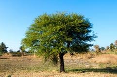 Babool树/水溶性阿拉伯胶树/刺含羞草树印度 免版税图库摄影