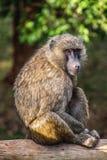 Baboon θέτει σε μια ξύλινη ακτίνα στοκ εικόνα