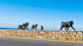 Baboon οικογένεια που περπατά δίπλα στο δρόμο, Καίηπτάουν, Νότια Αφρική στοκ εικόνα με δικαίωμα ελεύθερης χρήσης