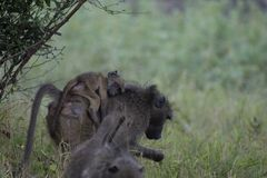 Baboon, αποσαφήνιση, με το μωρό σε την πίσω στοκ εικόνα