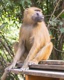 Baboon αρσενικό Στοκ φωτογραφία με δικαίωμα ελεύθερης χρήσης
