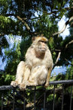 baboon Γιβραλτάρ Στοκ φωτογραφίες με δικαίωμα ελεύθερης χρήσης