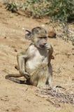 baboon ελιά μωρών Στοκ Φωτογραφίες