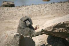 baboon ελιά Στοκ Φωτογραφίες