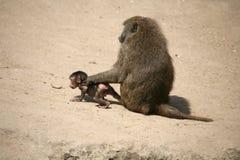 baboon ελιά Στοκ Εικόνα